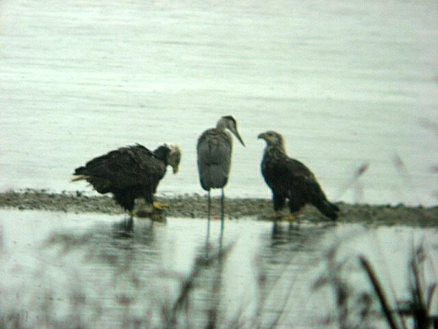 Heron vs Eagles 7-1