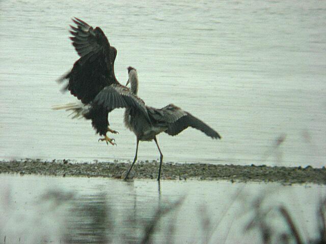 Heron vs Eagles 8-1